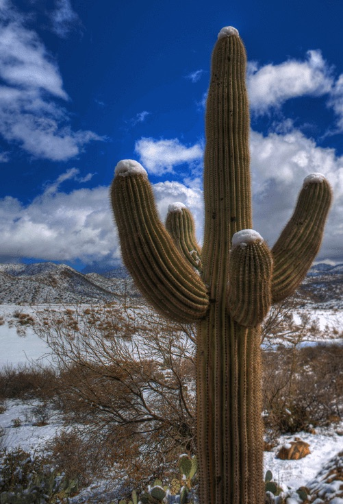 Saguaro Cactus during Winter Solstice Snow